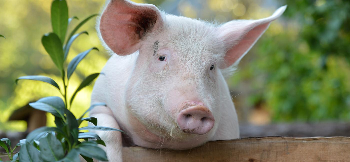 Tierarzt Schwein Schweine
